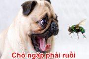 Chó ngáp phải ruồi